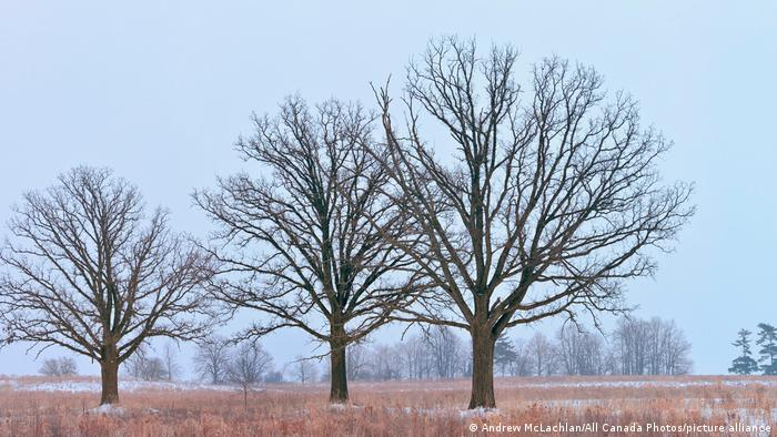 Three trees without leaves in a winter landscape
