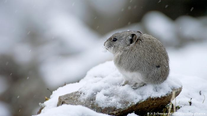 A Pika sitting in the snow