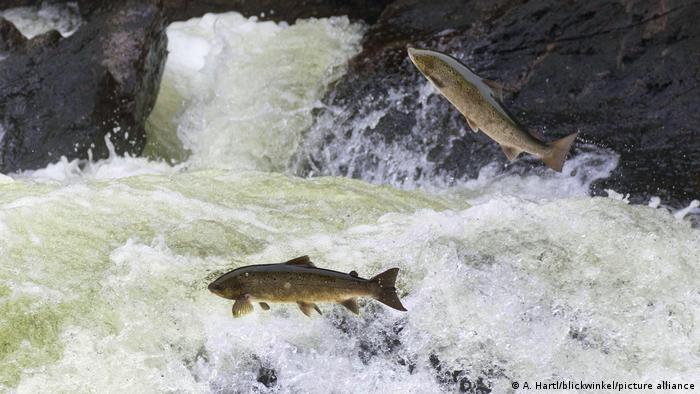 Norwegian Atlantic Salmon jumping over a rapid