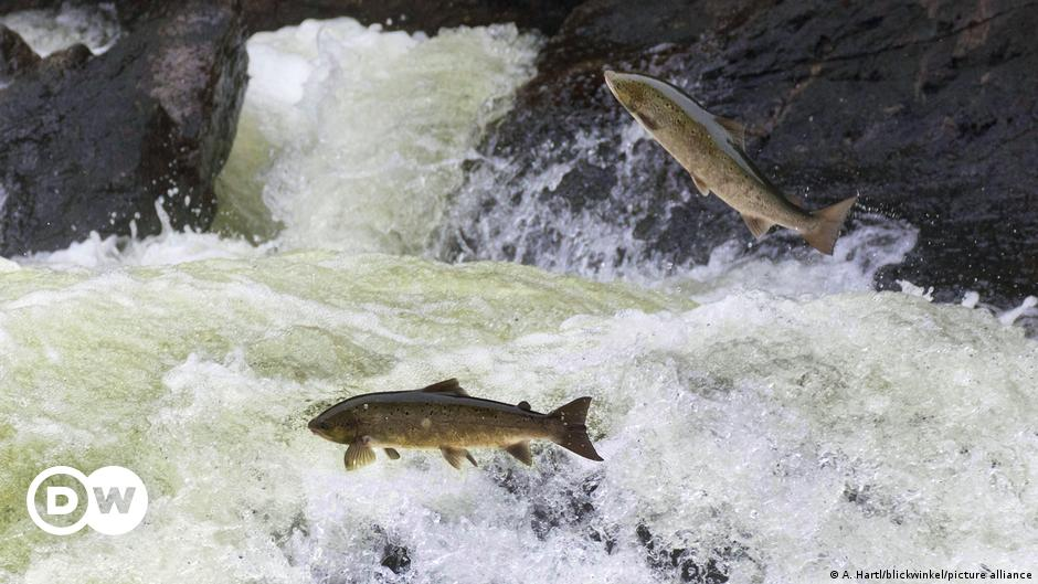 Why the fate of Scotland's salmon depends on its forests