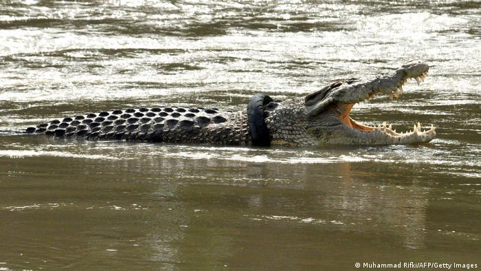 Krokodil sa gumom od motocikla oko vrata viđen je pre neki dan u reci Palu, na indonežanskom ostrvu Sulavezi. Još pre nekoliko meseci, australijski stručnjak za krokodile i TV-voditelj Metju Nikolas Rajt pokušao je da mu skine sa vrata taj opasni ukras, ali nije uspeo.