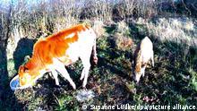 Die Aufnahme einer Wildtierkamera zeigt Zwergzebu-Kalb Prinzess (l) und Frischling Wutz. Das verwaistes Zwergzebu-Kalb hat sich mit dem jungen Wildschwein angefreundet und im Moor in der Nähe von Stade überlebt. (zu dpa Zwergzebu-Kalb Prinzessin überlebt Seite an Seite mit Wildschwein - Bestmögliche Qulität)