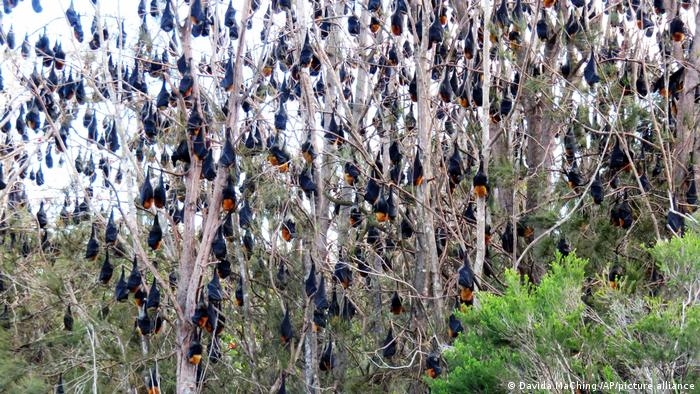 Flying Foxes hanging from trees