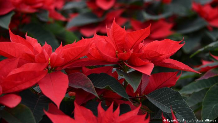 A closeup of the poinsettia's red leaves
