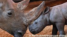 09.12.2020+++ Ein kleines Nashorn steht im Thüringer Zoopark neben seiner Mutter. Die Nashorndame Marcita hatte den kleinen Jungen am 28. November zur Welt gebracht. Das Nashörnchen hat noch keinen Namen.