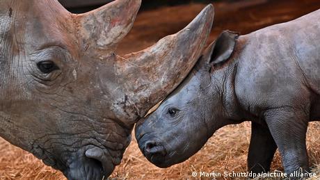 Mama gurka svog sinčića rogom da ga podseti da je vreme za ručak. Mali nosorog došao je na svet 28. novembra u Tirinškom zoo-vrtu u Erfurtu i to je mami Marsiti već drugi sin. Beba za sada još nema ime. Posetioci koji žele da je vide moraće da sačekaju da popuste mere uvedene zbog korone.