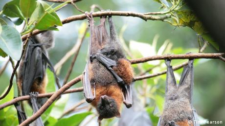 The Australian grey-headed flying fox hanging upside down