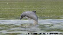 Delfinart Tucuxi |Sotalia fluviatilis