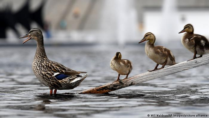 A mother duck and her ducklings perch on one of the special ramps made for them at the Empire State Plaza