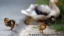 Ducklings and their mother (BACK) stand next to a bike trail inLuedinghausen,Germany, 26 June 2013. Photo: Kevin Kurek