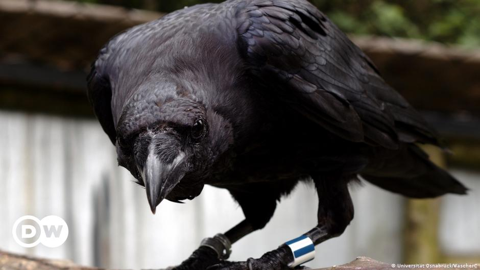 Ravens are as intellectually 'skilled' as chimpanzees — study