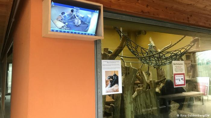 screen on wall of gorilla house showing CCTV footage of the chimpanzees Bally and Limbo