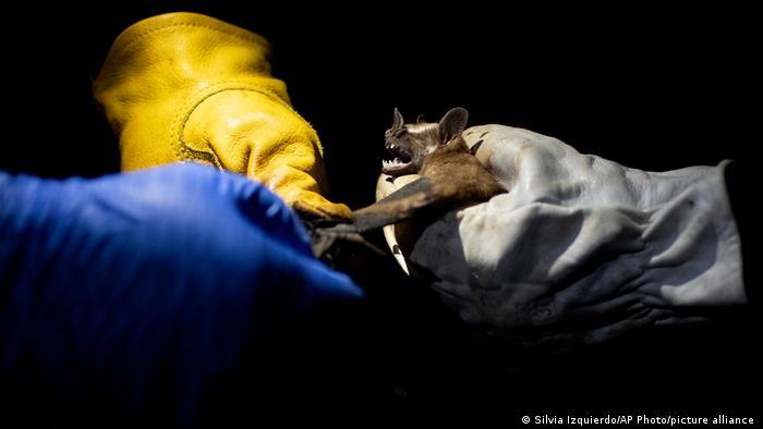 Brasilien Rio de Janeiro   Forschung an Fledermäuse   Pandemien