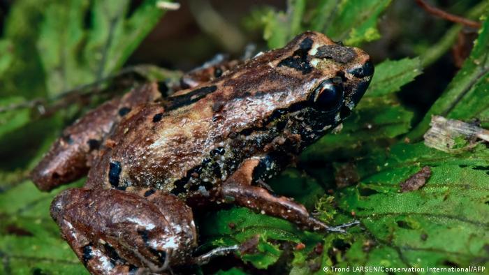 La rana Liliputiense, una de las más pequeñas del mundo.
