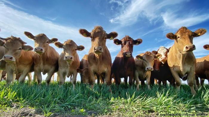 Cows stand in a row in a pasture
