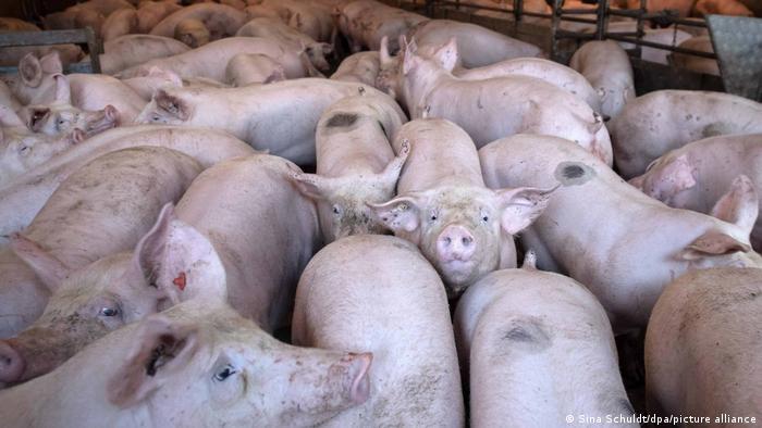 Schweine drängen sich in einem Stall