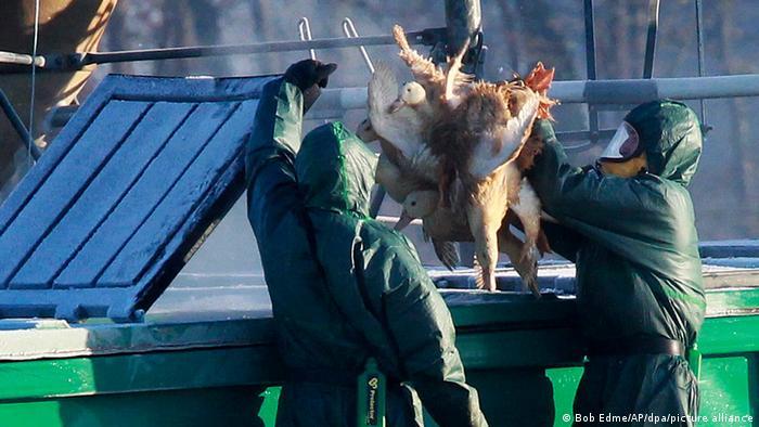Enfermedades zoonóticas: aves son electrocutadas para prevenir brotes de enfermedades.