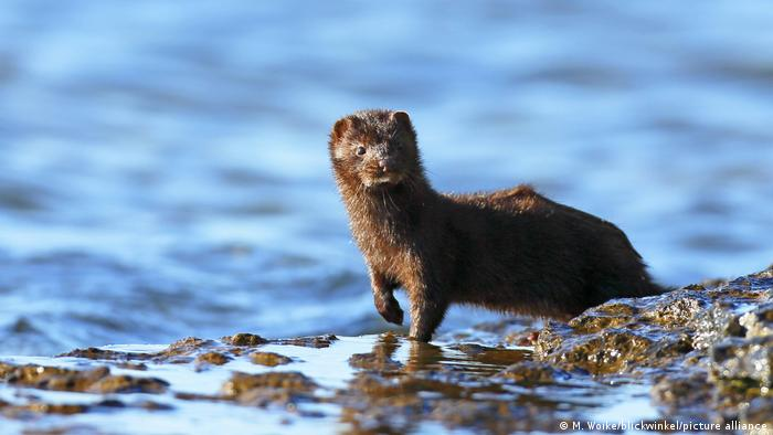 A mink stands along a water bank