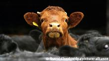 Symbolbild Tierseuchen   Rinder