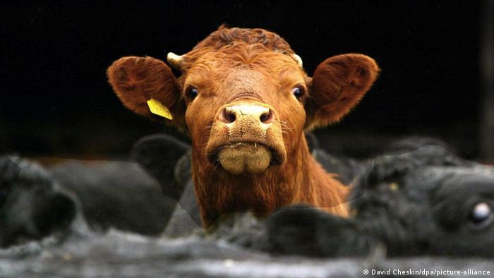 Una vaca en un corral.