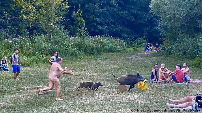 این تصویری از یک خوک وحشی به همراه بچههایش است که در نزدیکی دریاچهای در برلین وسایل و لباس مردی را دزدیده است. این مرد که لخت زیر آفتاب لم داده بوده، متوجه میشود که این خوک ساک او را قاپ زده که لپتاپ و لباسهایش در آن بودهاند.