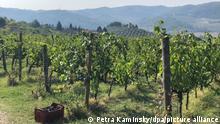 Weintrauben liegen in Kisten in einem Weinberg von «I Veroni». Der Weinhof «I Veroni» bei Florenz, in Pontassieve, ist ein Beispiel, wie Krise und Kreativität in Italiens Weinbranche Hand in Hand gehen. Früher verkaufte er seine Chianti Rufina auf viele Kanäle verteilt. Wegen Corona änderte sich da vieles. Der Hof mit 20 Hektar Wein arbeitet mit Handlese und Bio-Methoden. (zu dpa «Italien bleibt auch in der Krise Wein-Weltmeister»)