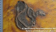 Deutschland | Unesco-Welterbe Grube Messel | Fossile Python