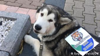 Протестный маламут Никиты Караева