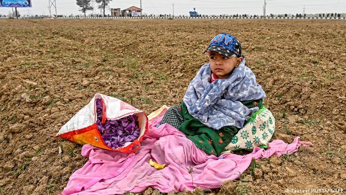 Boy sits near a bag filled with saffron flowers in a saffron field as farmers work nearby in Pampore, south of Srinagar in Kashmir