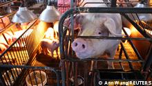 Pigs are seen on a pig farm in Pingtung, Taiwan, December 14, 2020. Picture taken December 14, 2020. REUTERS/Ann Wang