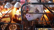 Taiwan Schweinen