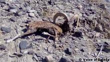 Pakistan Belutschistan | Tote Markhor