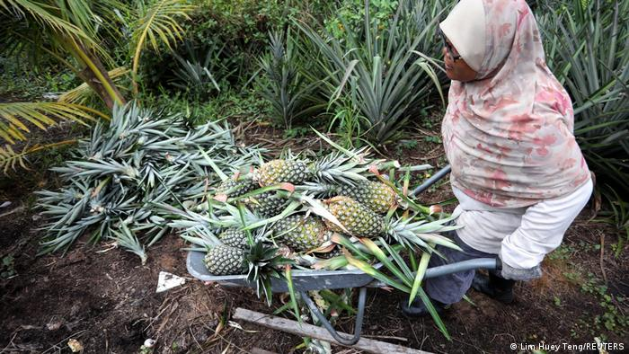 A farmer harvesting pineapples at a plantation in Malaysia