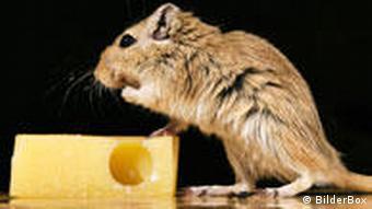 Eine Maus sitzt vor einem Stück Schweizer Käse