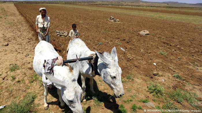 A Yemeni farmer uses donkeys to plow his land.