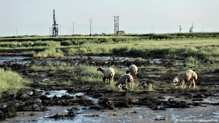 Sheep graze near an oil-polluted stream in northeastern Syria in May 2020.