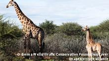 PICTURE SHOWS: Nigel, dwarf giraffe in Namibia with adult male Conservation scientists have discovered two dwarf giraffes in Africa, which may be the smallest in the world. The average height of a giraffe is around 18 feet, but scientist stumbled upon two that are half the size in separate populations in Uganda and Namibia. The two giraffes, named Gimil and Nigel, were spotted by conservation scientists working with the Giraffe Conservation Foundation and the Smithsonian Conservation Biology Institute. The Nubian giraffe, named Gimil, was first observed in 2015 at Uganda's Murchison Falls National Park. Researchers noticed the male, a calf at the time, had disproportionate limb dimensions relative to its torso and neck. The team returned to the park over the next few years to take photos and measurements as he grew. Gimil was last observed in July 2020, when the last images and measurements were taken. An Angolan giraffe, named Nigel, was living on a private farm in central Namibia and was also monitored in the same fashion as Gimil over the course of a few years. Scientists compared the images and measurements of both giraffes, both mature adults, with that of other giraffes that are similar in age and stem from the same population. Using digital photogrammetry techniques, we performed comparative morphometric analyses to describe skeletaldysplasia-like syndromes in two wild giraffe from different taxa and demonstrated that the skeletal dimensions of these dysplastic giraffe are not consistent with the population measurements of giraffe in similar age classes, researchers shared in the study published in the journal BMC Research Notes. The team found that the smaller giraffes had shorter legs than their counterparts, specifically shorter radius and metacarpal bones. The pair also exhibited shortened fore-limbs to varied degrees and had different neck length. Skeletal dysplasias has been found to lower survival rates among animals in captivity, but du