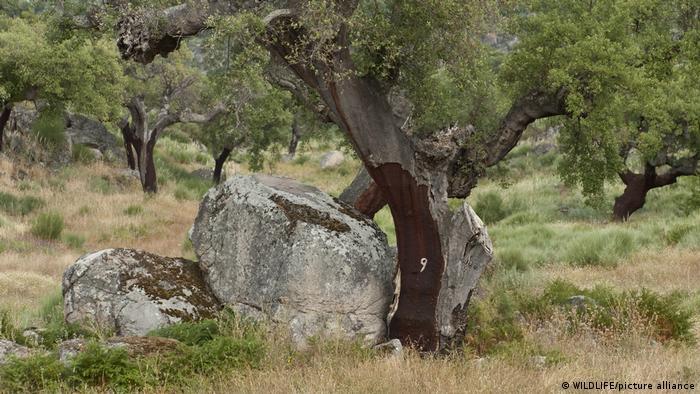 Korkeichen in der Extremadura