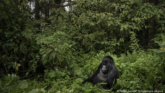 El Parque nacional de Virunga en el Congo es hogar de alrededor de un tercio de los gorilas de montaña del mundo.