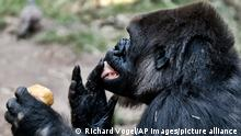 Ndjia, a 24 year-old female western lowland gorilla licks her fingers while taking a morning ice treat during her debut at the Los Angeles Zoo on Thursday, July 12, 2018. She was brought from the San Diego Zoo on May 9 to be paired with the Los Angeles Zoo's male silverback gorilla, Kelly, under a program that breeds western lowland gorillas, a species considered critically endangered in the wild. (AP Photo/Richard Vogel)