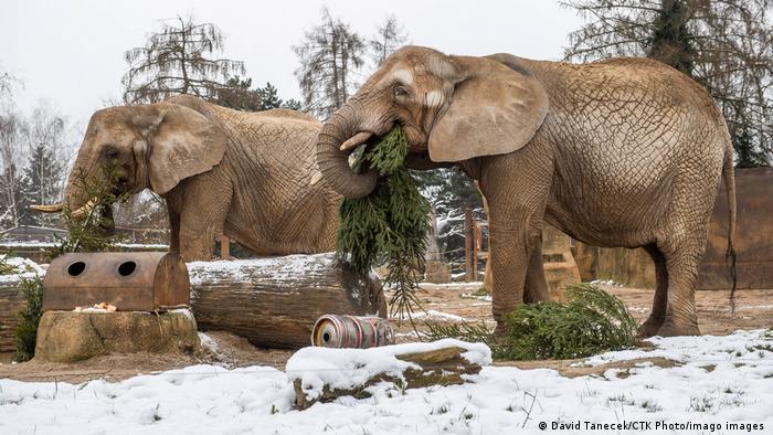 BdTD Tschechien Weihnachtsbäume für Elefanten