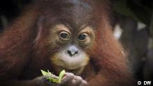 DW Sendung Eco India | Orangutan