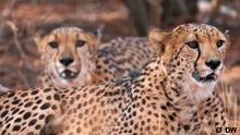 DW Sendung Eco Africa   Cheetahs