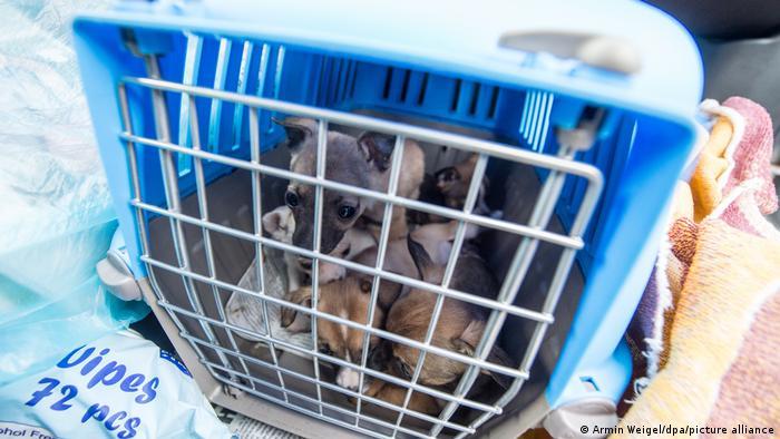 Fünf Welpen sitzen in einem Käfig in einem von Fahndern angehaltenen Fahrzeug