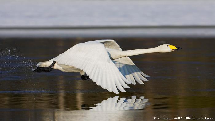 Um cisne levanta voo na superfície de um lago