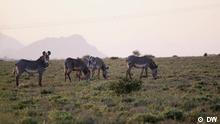DW Eco Africa | Sendung #252 |Kenia Zebras
