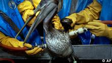FILE - In this May 15, 2010 file photo, A Brown Pelican is cleaned at the Fort Jackson Wildlife Rehabilitation Center at Buras, La. The bird was rescued after being exposed in an oil spill in the Gulf of Mexico caused by the explosion of BP's Deepwater Horizon oil platform more than three weeks ago. At nearly every step since the Deepwater Horizon exploded more than a month ago, causing the worst oil spill in U.S. history, rig operator BP PLC has downplayed the severity of the catastrophe in the Gulf of Mexico. (AP Photo/Charlie Riedel, File)
