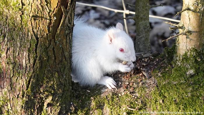 Ova veverica je snimljena u Saseksu u Velikoj Britaniji i nije neka posebna vrsta već - albino. Albinizamje prirodna i nasledna nesposobnostorganizmada stvarapigmentmelanin, i javlja se kod ljudi, životinja i biljaka.