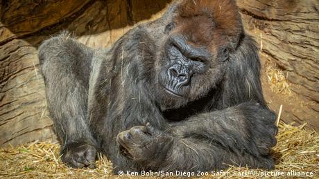 USA Escondido | Coronavirus Gorilla | San Diego Zoo Safari Park