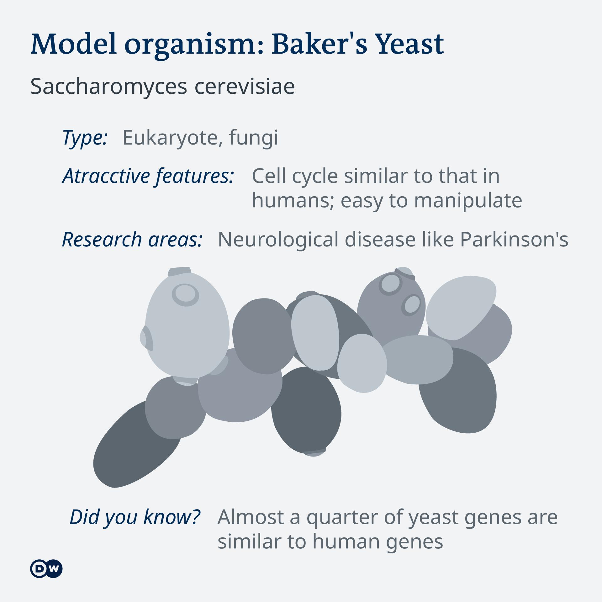 Infografik Model organism Bierhefe EN
